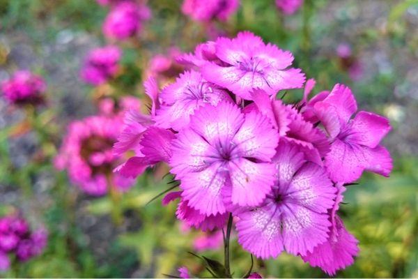 Dianthus plant care