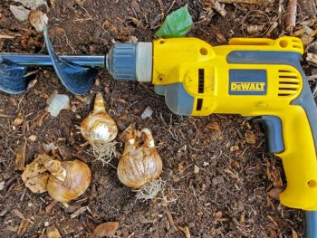 Planting bulbs with a bulb auger