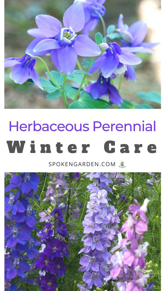 Caring for herbaceous perennials