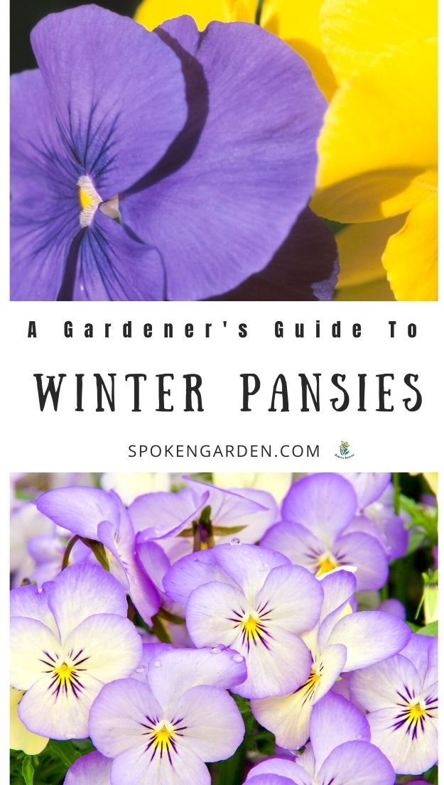 Yellow and purple winter pansies in winter landscape