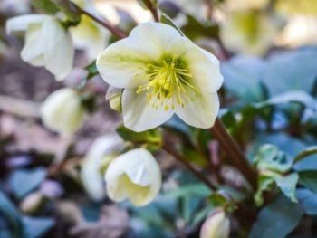 Christmas Rose Companion Plants – DIY Garden Minute Ep. 125
