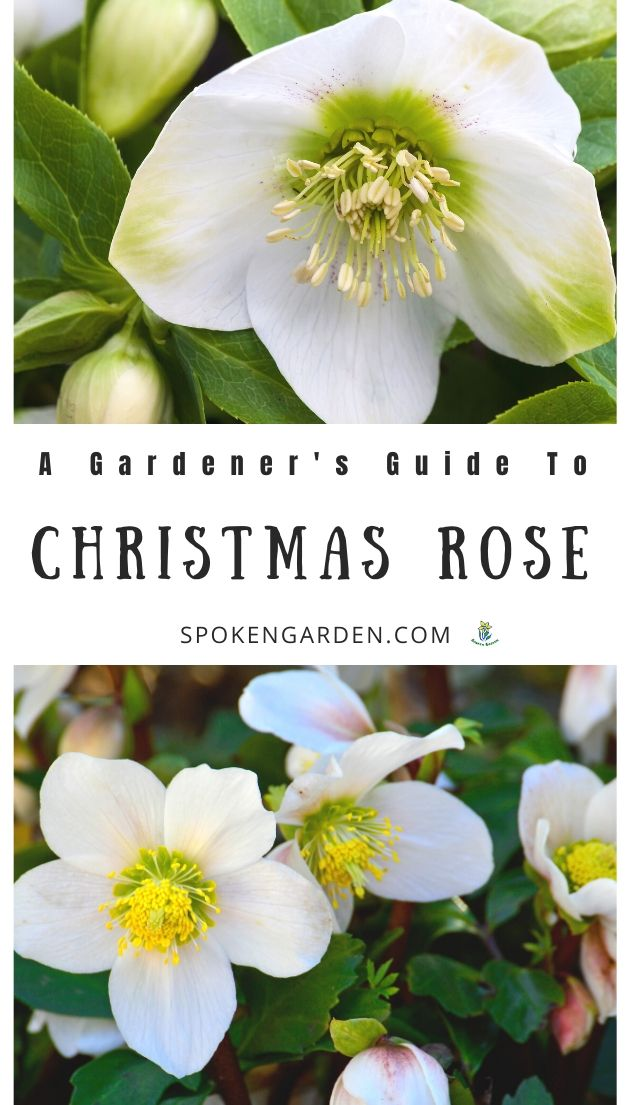 White Christmas Rose helleborus niger in winter landscape with text overlay