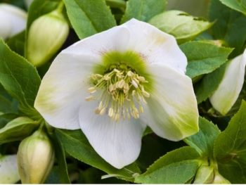 White Christmas Rose (Helleborus niger)