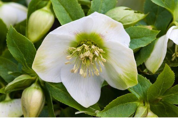 White Christmas Rose (Helleborus niger)