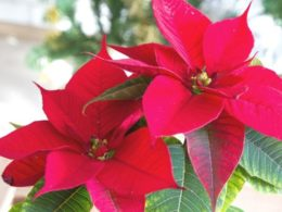 Poinsettia Care: A Mini Plant Profile – DIY Garden Minute Ep. 122