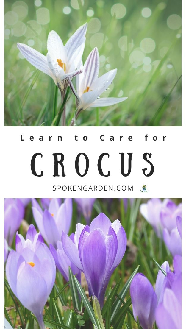 A mix of white crocuses and purple crocus flowers with text overlay