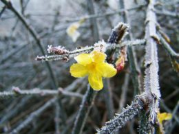 Winter Jasmine Companion Plants – DIY Garden Minute Ep. 129