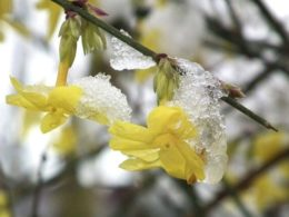 Winter Jasmine – A Gardener's Guide and Plant Profile