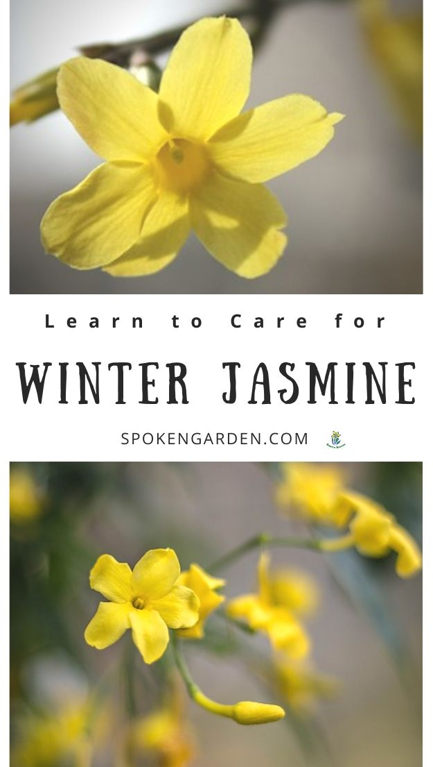 Yellow Winter jasmine in winter landscape with text overlay