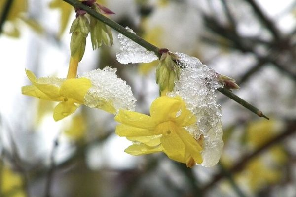 Jasmine plant with yellow flowers having melting snow and ice hanging on it.