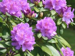 How a Rhododendron Farm Led to a Career (and Love) of Plants – Ep. 45