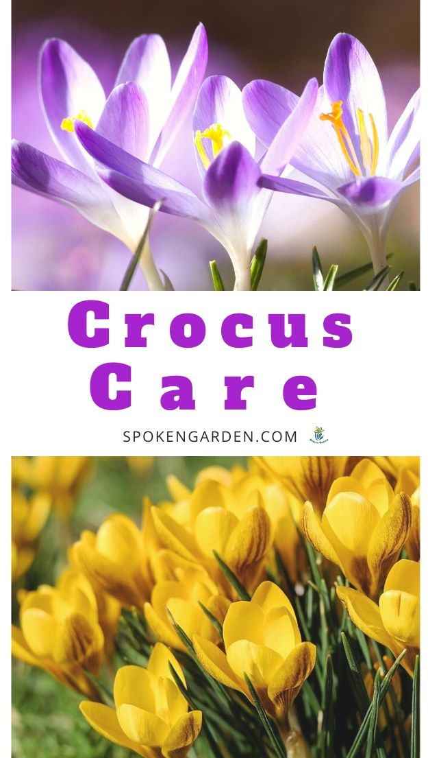 Field of purple crocus flowers and a grouping of yellow crocus flowers with text overlay