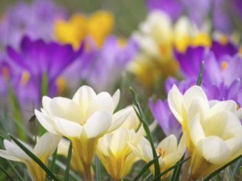 Yellow, white, and purple crocus flowers blooming in a field