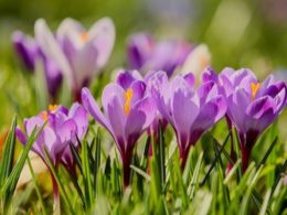 Crocus Mini Plant Profile – DIY Garden Minute Ep. 133