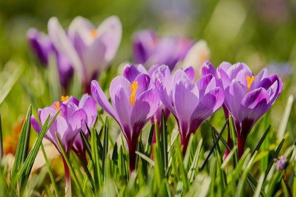 Field of purple spring crocus flowers in this mini plant profile