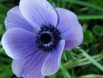 Purple spring-blooming anemone flower