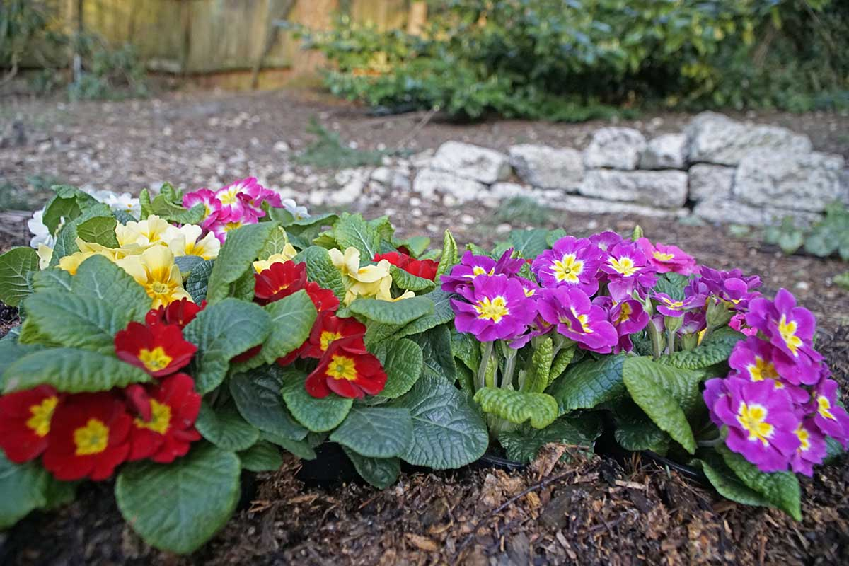 """Red, pink, and yellow primroses shown in a landscape with mulch and planted using the phrase """"right plant, right place"""""""