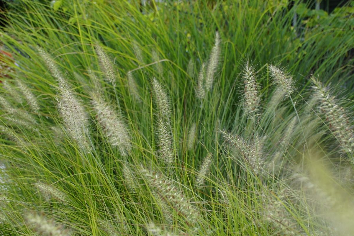 Wispy ornamental garden grasses in a finely-textured garden