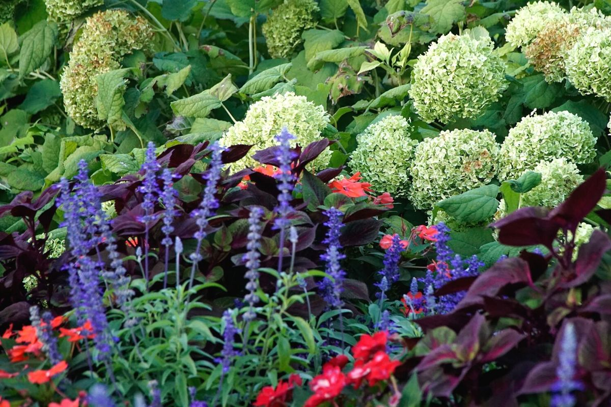 Mix of garden texture in various shapes and colors such as whitelarge, white hydrangeas, red coleus, and other red, blue, and green flowers and foliage.