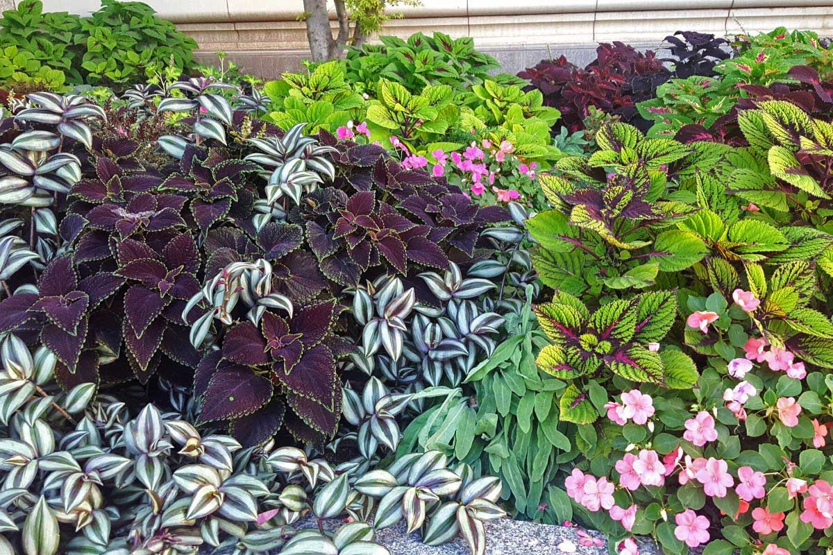 Colorful plants for your garden with various types of coleus and impatiens