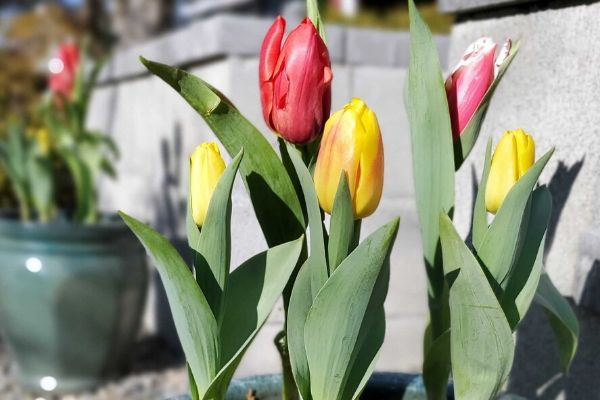 Tulip flowers in the sun almost fully open with green leaves below them.
