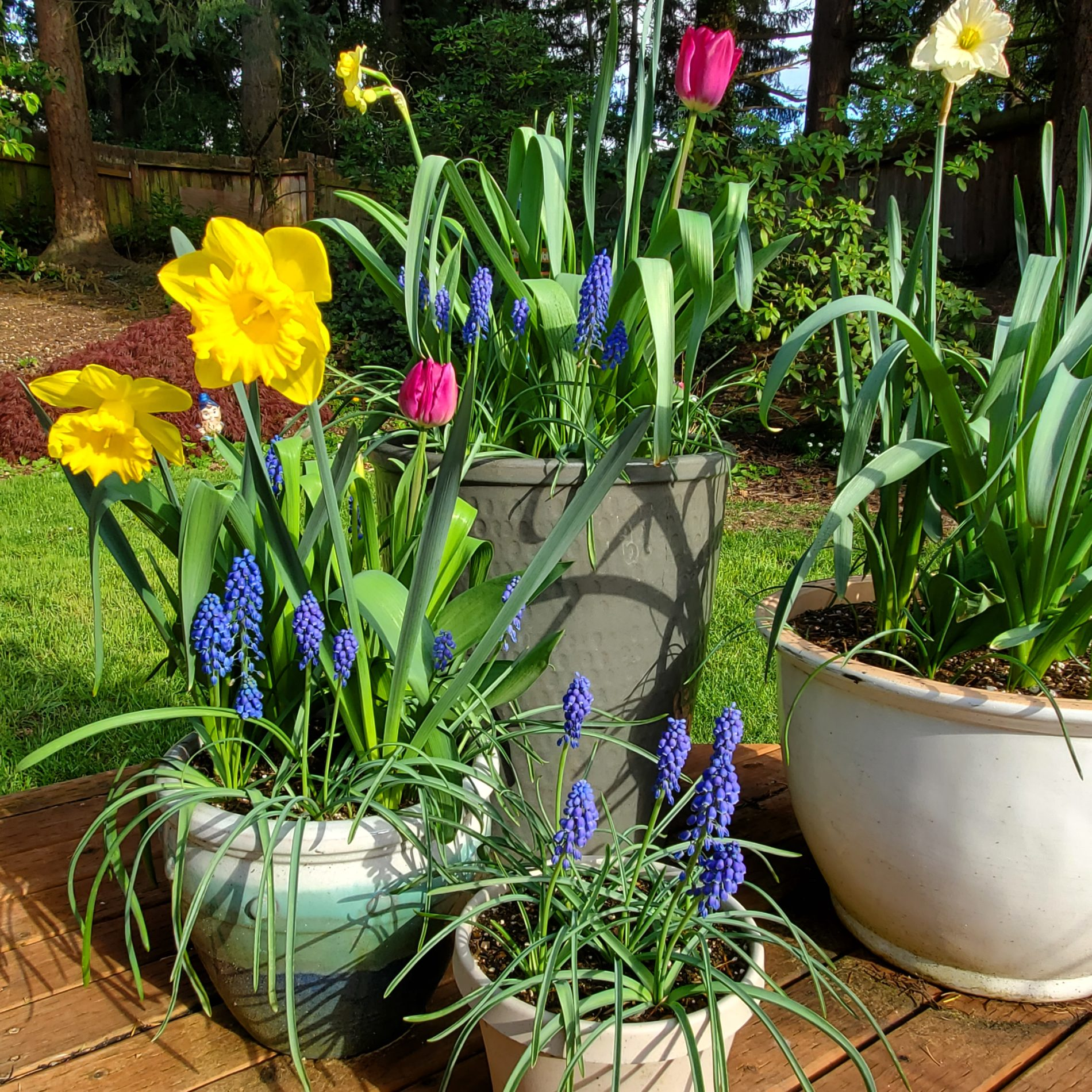Potted daffodils, hyacinth, and tulips on a deck at home.