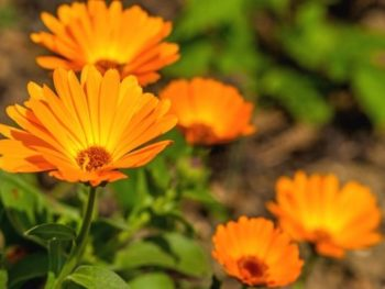 Orange calendula flowers blooming