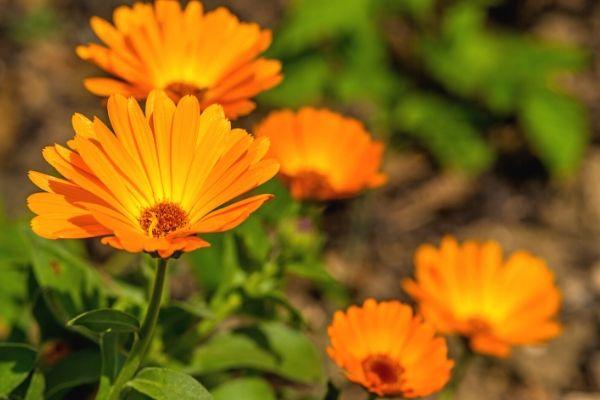 Orange calendula flowers blooming