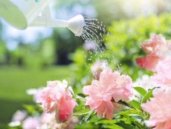 Person watering plants with watering can in outdoor garden with flowers in full bloom.