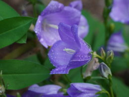 Light bluish purple cup shaped flower of campanula with dew sprinkled over them.