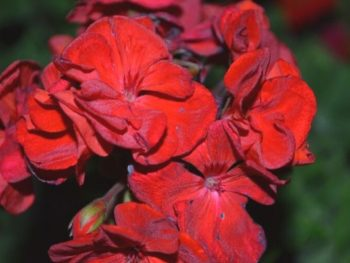 3 Great Reasons Why You Need to Deadhead Your Perennials This Summer  – DIY Garden Minute Ep.151
