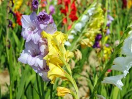 Multiple gladiolus blooms of pink, yellow, white and others in a garden.