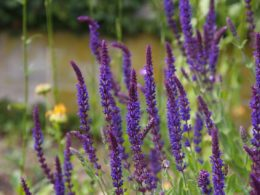 Purple spikes of sage flowers grouped together in a garden.