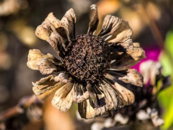 Old zinnia flower ready to be removed or deadheaded.