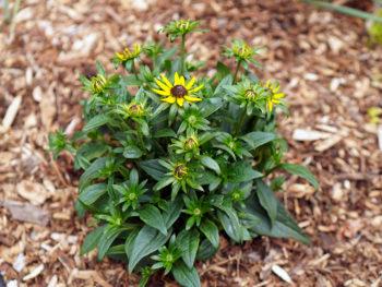 Black-eyed Susan Care: A Mini Plant Profile – DIY Garden Minute Ep.159