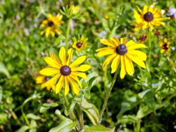 8 Great Companion Plants for Black-eyed Susans to Plant This Fall – DIY Garden Minute Ep.160