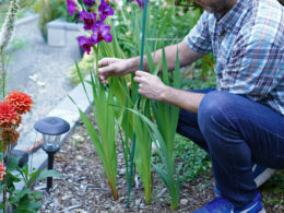 How to Easily Stake Your Gladiolus Plants So They Don't Fall Over