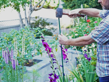 Staking a gladiolus stem using a rubber mallet