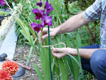 Tying a purple gladiolus plant stem to a plant stake
