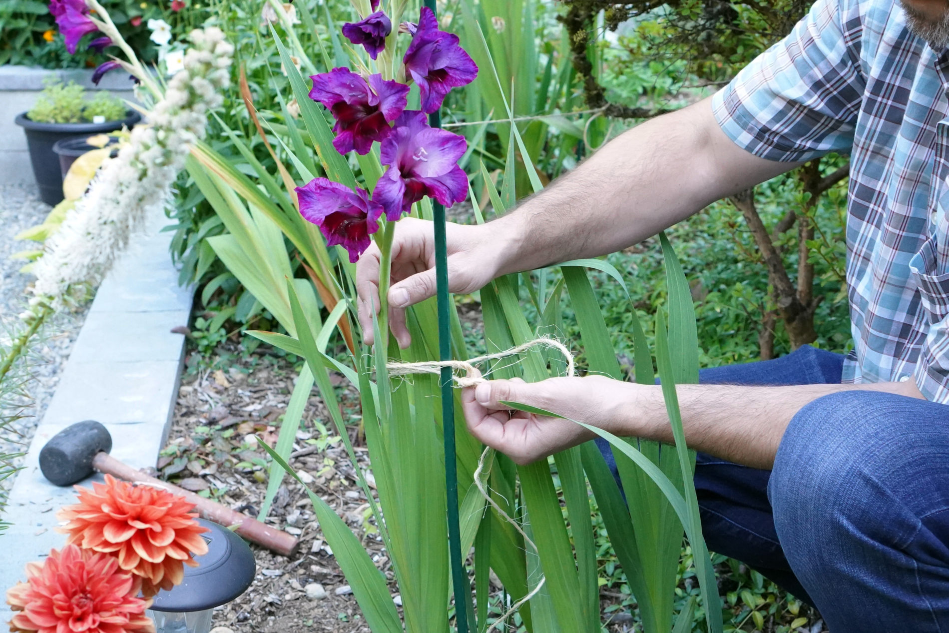 Tying a purple gladiolus plant stem to a plant stake