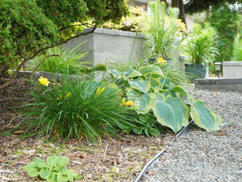Perennial plants with green leaves planted along a gravel path showing different leaf textures and colors.