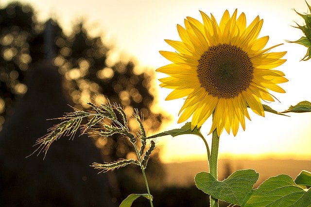 A backlit sunflower showing how gardening impacts your health positively