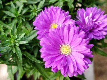 Three purple Aster 'Magic Purple' flowers
