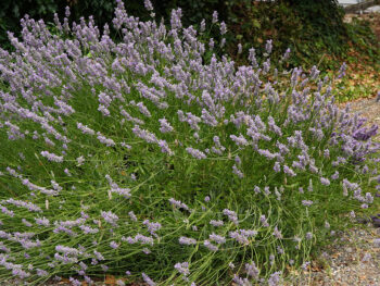 Which Perennials Should You Cut Back This Fall? – DIY Garden Minute Ep.166