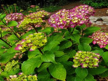 Fall Pruning Tips for Beautiful Hydrangeas – DIY Garden Minute Ep.165