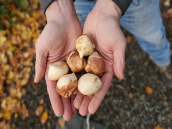hands holding tulip bulbs outside.