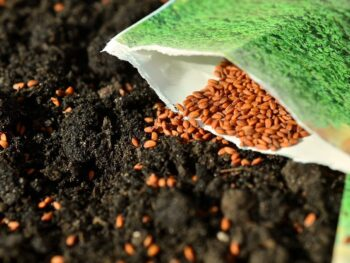 Seeds being spread over soil surface for new planting.