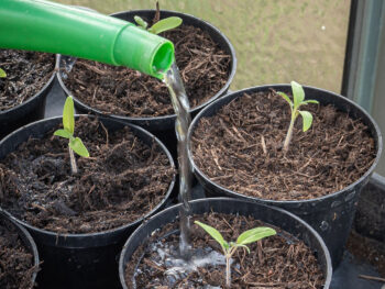 watering seedlings in pots with watering can.