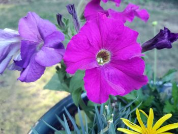 Flowering petunia plant with bright purple color.