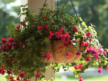 A fuchsia hanging basket under a porch eve with sunlight shining behind it and the basket in the shade with trailing red foliage and green leaves.